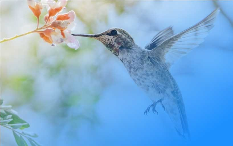 An Anna's Hummingbird with its beak in a flower with a gradient fade to blue.